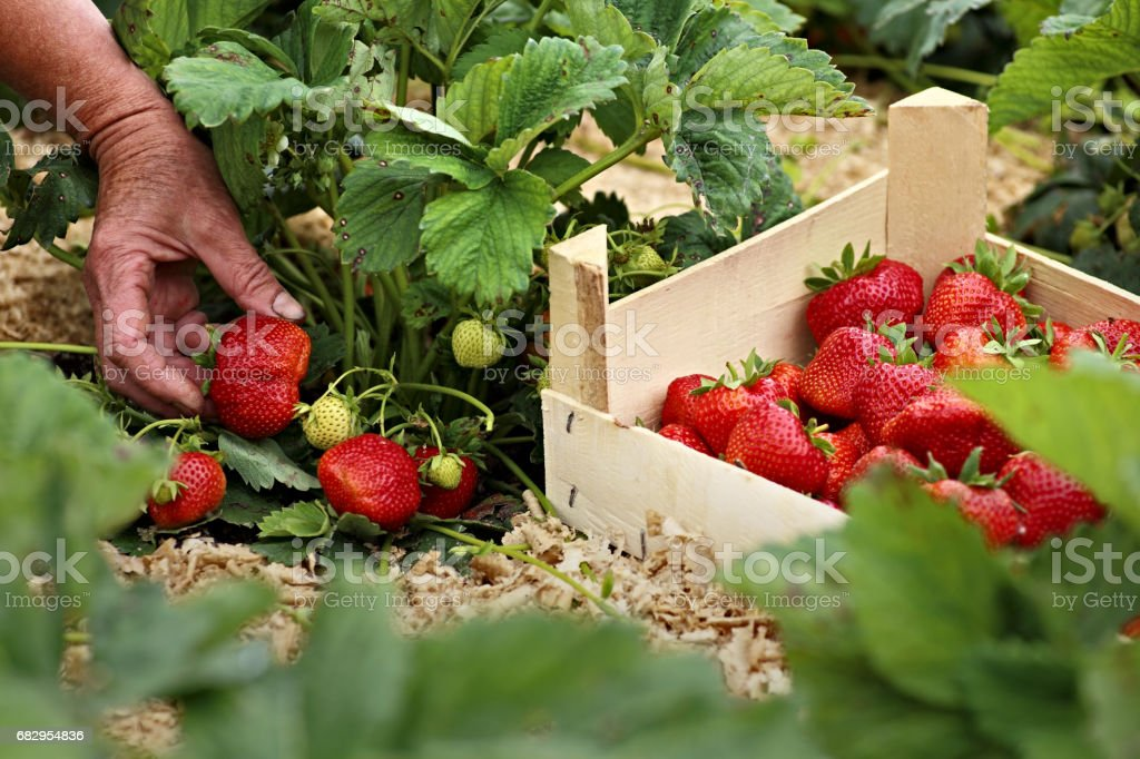 Female hand with a large ripe strawberry foto de stock royalty-free