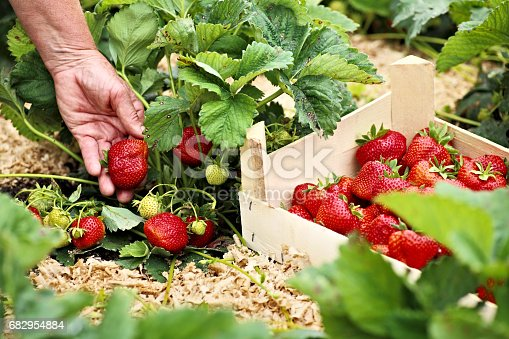 Female hand rips strawberries from the bush. Perfect weather for harvesting strawberries. There is wooden box with strawberries near the bush
