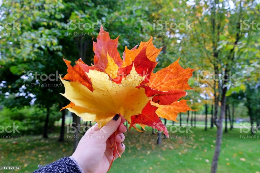 Female hand with colorful bouquet of maple leaves. stock photo