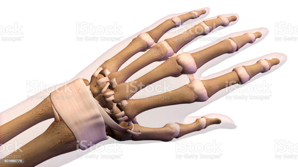 Weibliche Hände Und Handgelenk Knochen Auf Weißem Hintergrund Stock ...