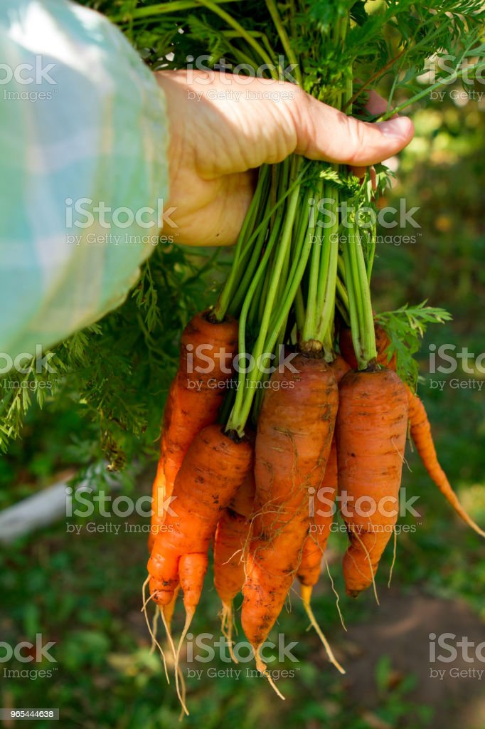 Female hands hold a bunch of a carrots royalty-free stock photo