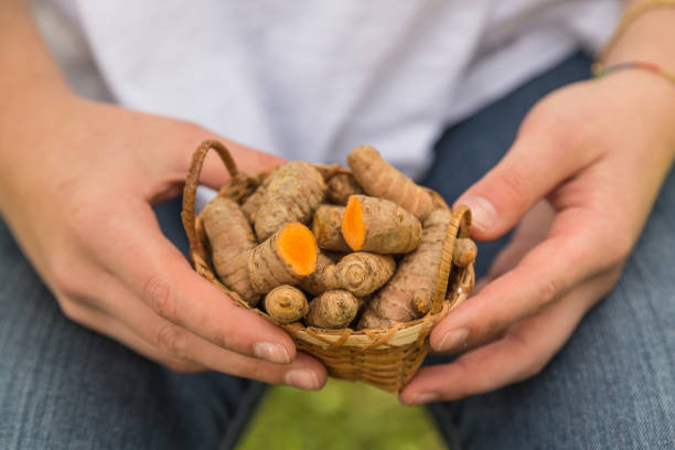 female hands holding fresh root turmeric stock photo