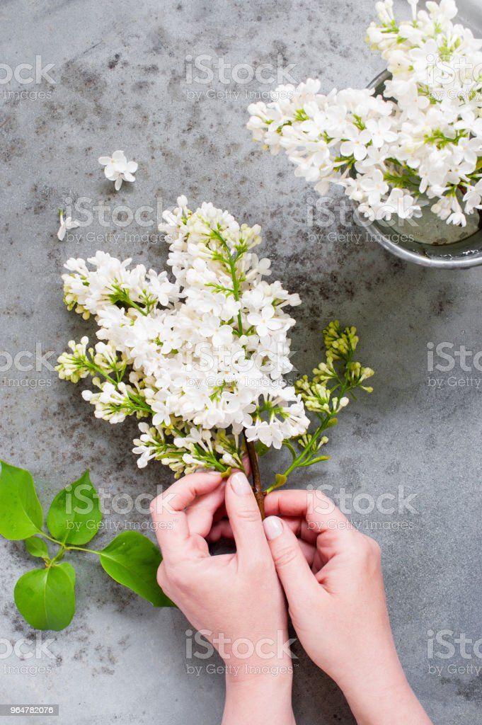 Female hands holding the brunch of white lilac royalty-free stock photo