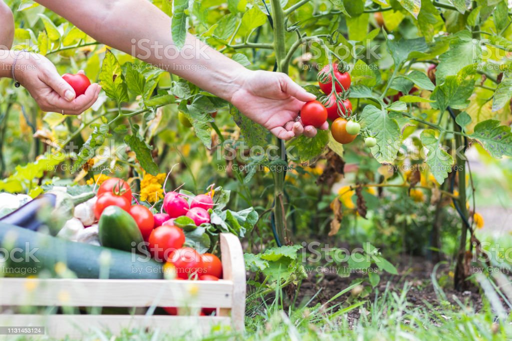 Female hands picking fresh tomatoes to wooden crate with vegetables. - Royalty-free Adulto Foto de stock