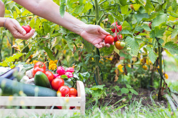 Female hands picking fresh tomatoes to wooden crate with vegetables. stock photo
