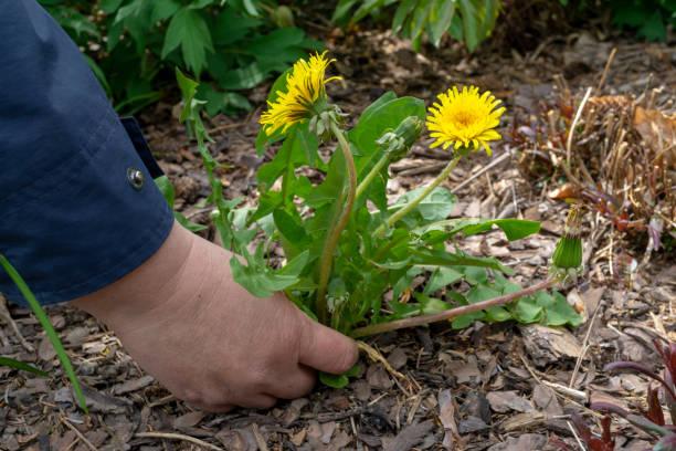 vrouwelijke handen trekken onkruid uit de grond tuin. - wieden stockfoto's en -beelden