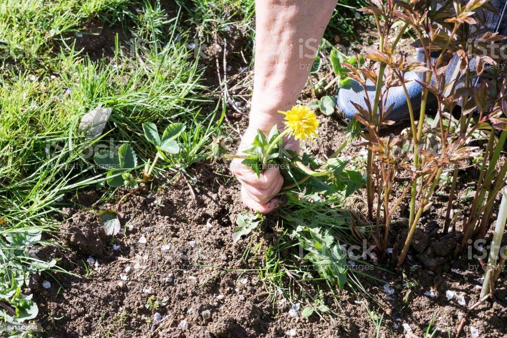 Female Hands Pull Out Weeds From Ground Garden royalty-free stock photo