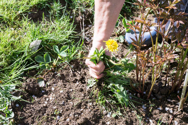 Female Hands Pull Out Weeds From Ground Garden stock photo