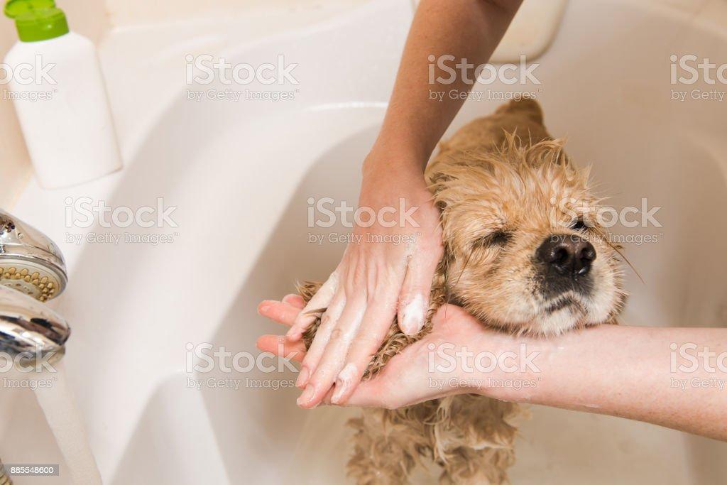 Female hands washing dog ears stock photo