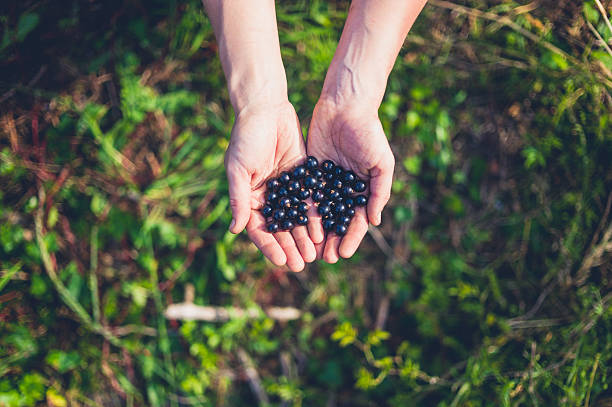 Female hands with black currants Young female hands with black currants outdoors foraging stock pictures, royalty-free photos & images
