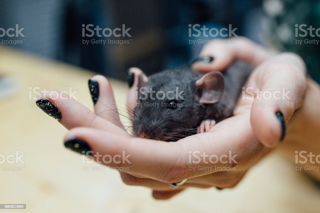 Female hands with cute funny curly puppy rat on blurred wooden background, closeup. Animals at home royalty-free stock photo