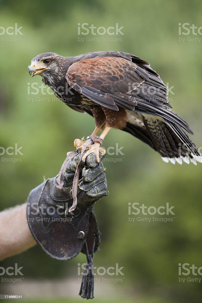 Female Harris Hawk stock photo