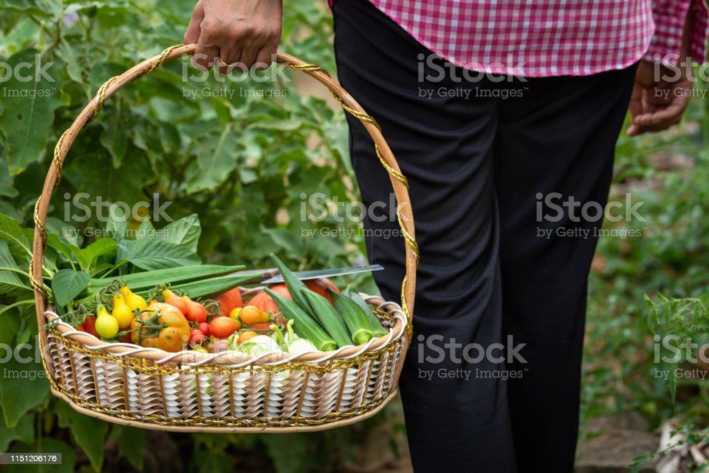 Female harvested vegetables organic at farm, Harvested season...