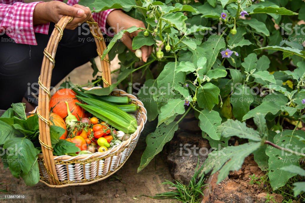 Female harvesting vegetables organic at farm, Harvested season...