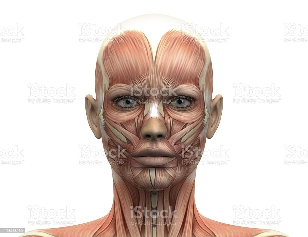 Female Head Muscles Anatomy - Front view stock photo