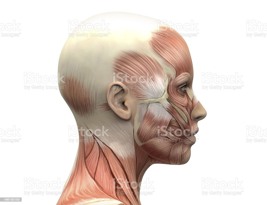 Female Head Muscles Anatomy - Side view stock photo