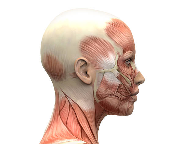 female head muscles anatomy - side view - body part stock pictures, royalty-free photos & images