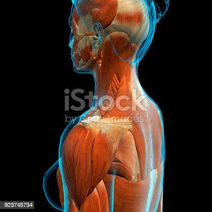 Weibliche Kopf Nacken Und Schultermuskulatur Stock-Fotografie und ...