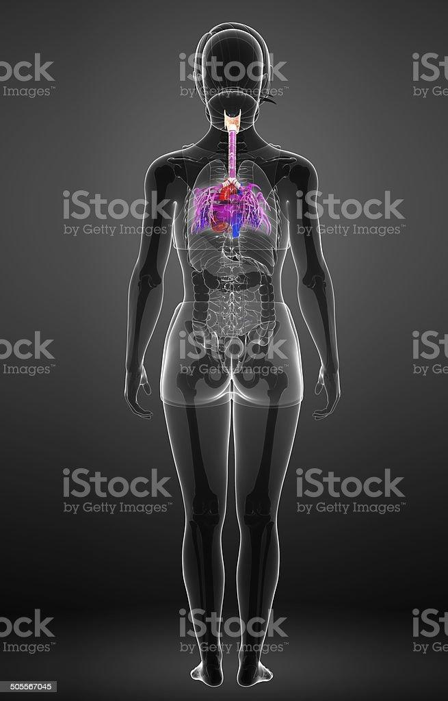 Fein Weibliche Blase Anatomie Bilder Zeitgenössisch - Anatomie Von ...