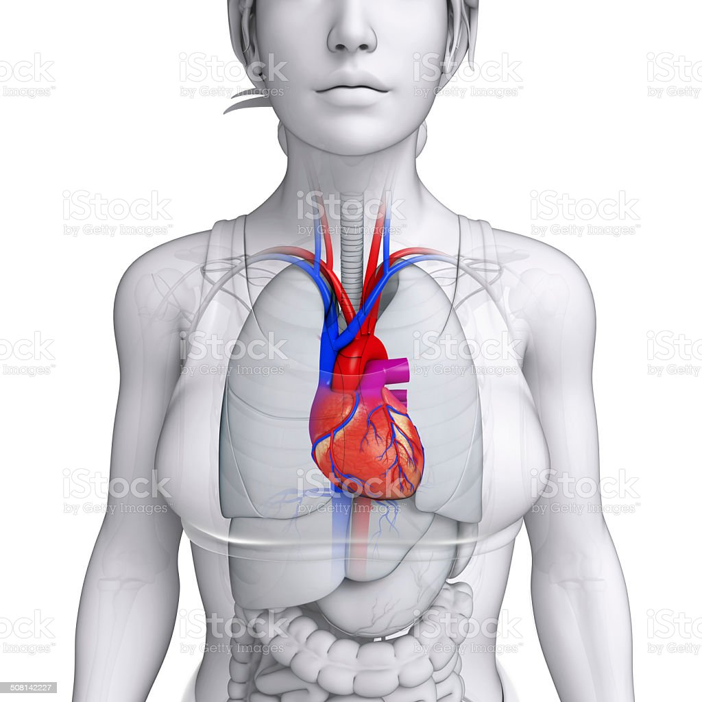 Female heart anatomy stock photo