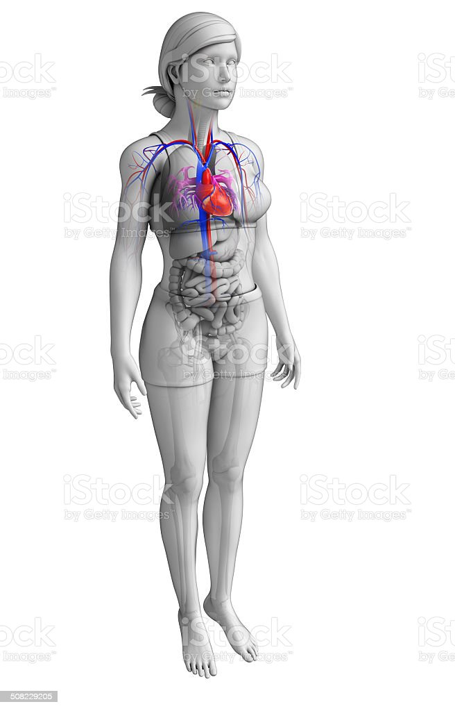Female heart anatomy stock photo