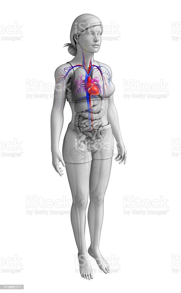 Fotografía de Hembra Corazón Anatomía y más banco de imágenes de ...