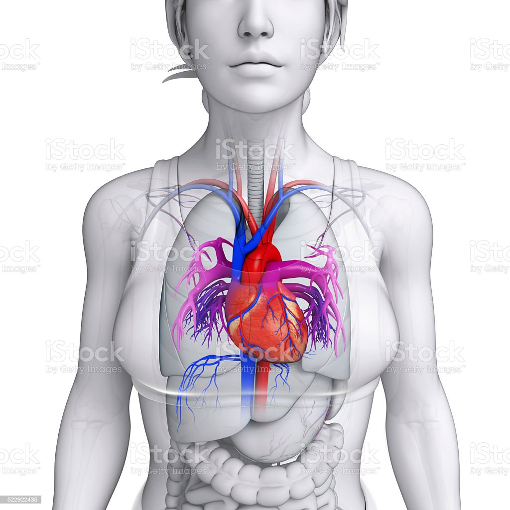 Heart pictures anatomy