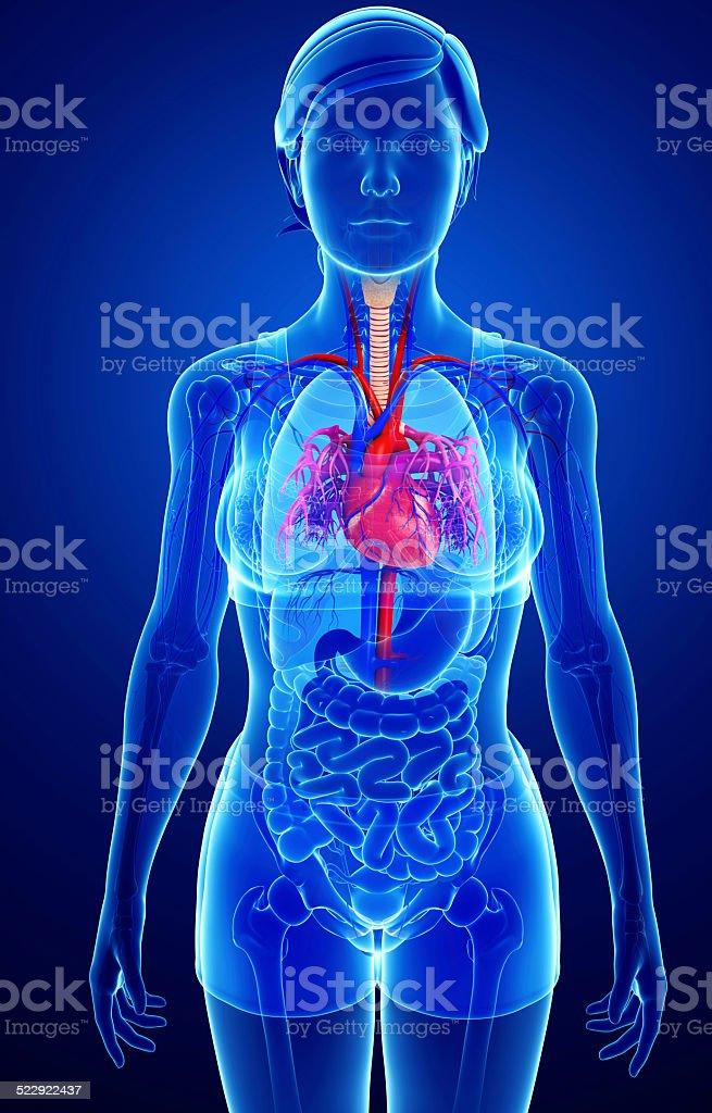 Weibliche Herz Anatomie - Stockfoto   iStock