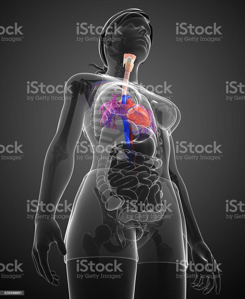 Ausgezeichnet Menschliche Anatomie Videos Bilder - Menschliche ...