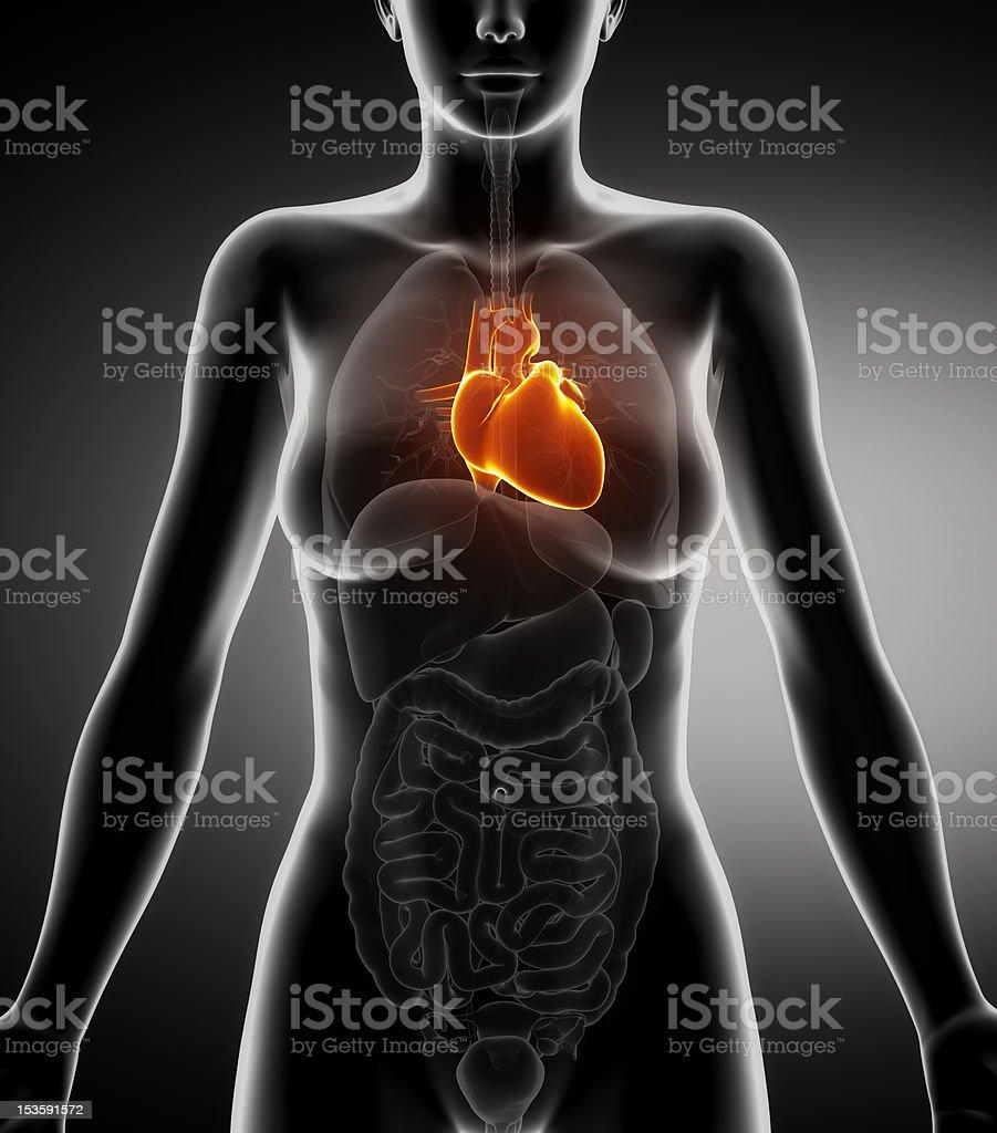 Coranary Female Human Body Diagram - DIY Enthusiasts Wiring Diagrams •