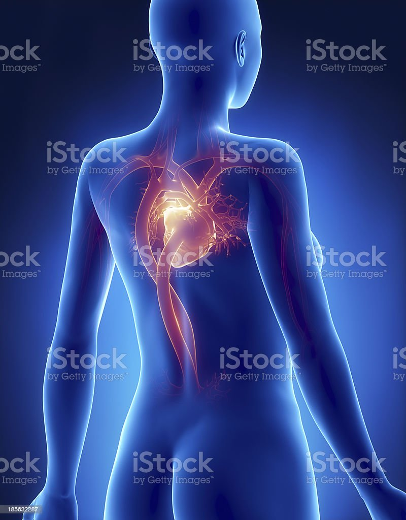 Female HEART anatomy x-ray posterior view royalty-free stock photo