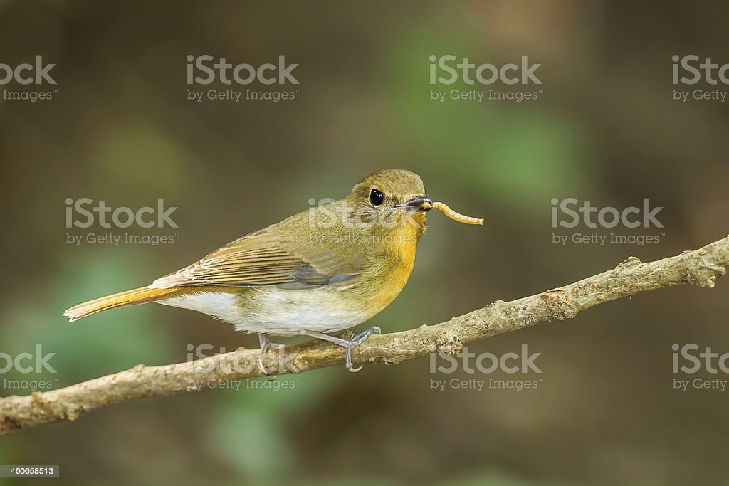 Female Hill Blue Flycatcher Female Hill Blue Flycatcher (Cyornis banyumas) with worm in mount in nature Animal Stock Photo