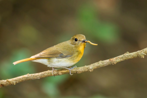 Female Hill Blue Flycatcher Stock Photo - Download Image Now