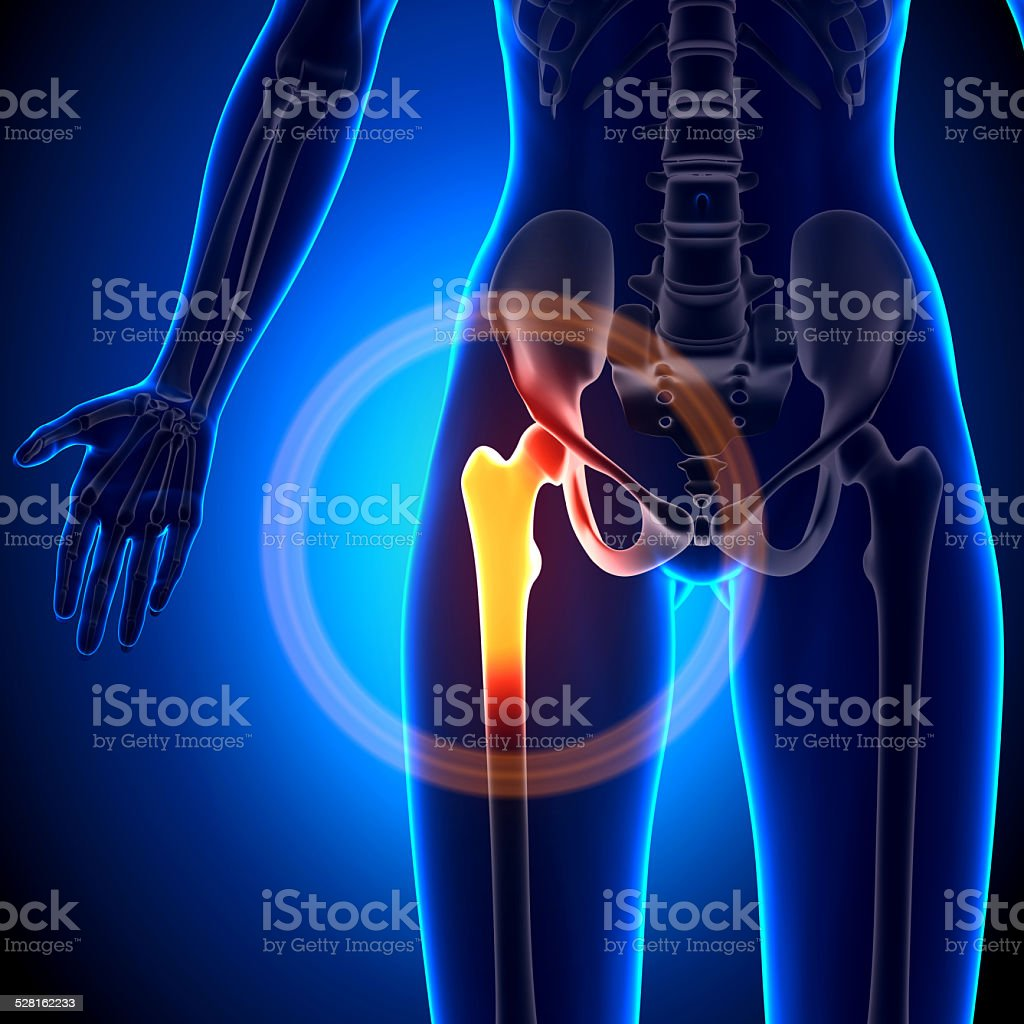 Female Hip Joint Anatomy Bones Stock Photo More Pictures Of Adult