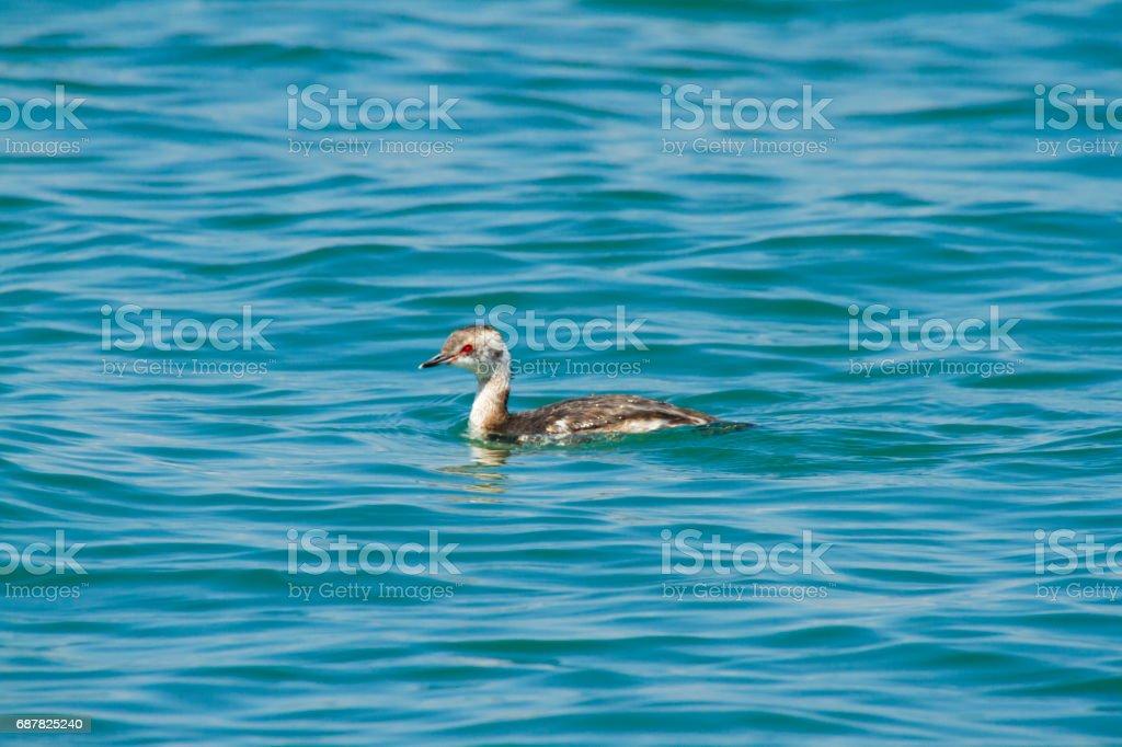 Female Horned Grebe In Lake Erie stock photo