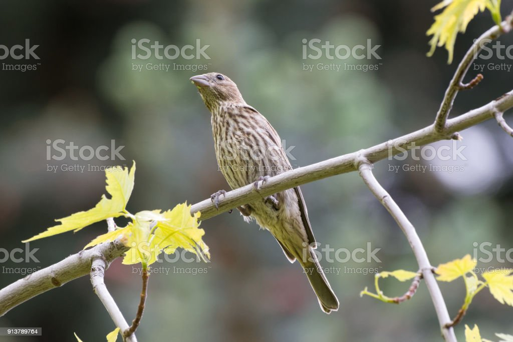 Female House Finch Perched On A Tree Branch Stock Photo - Download