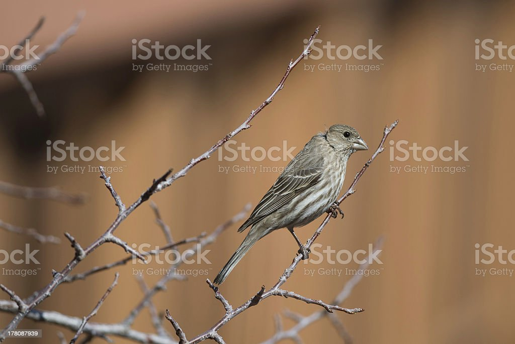 Female House Finch Stock Photo - Download Image Now - iStock