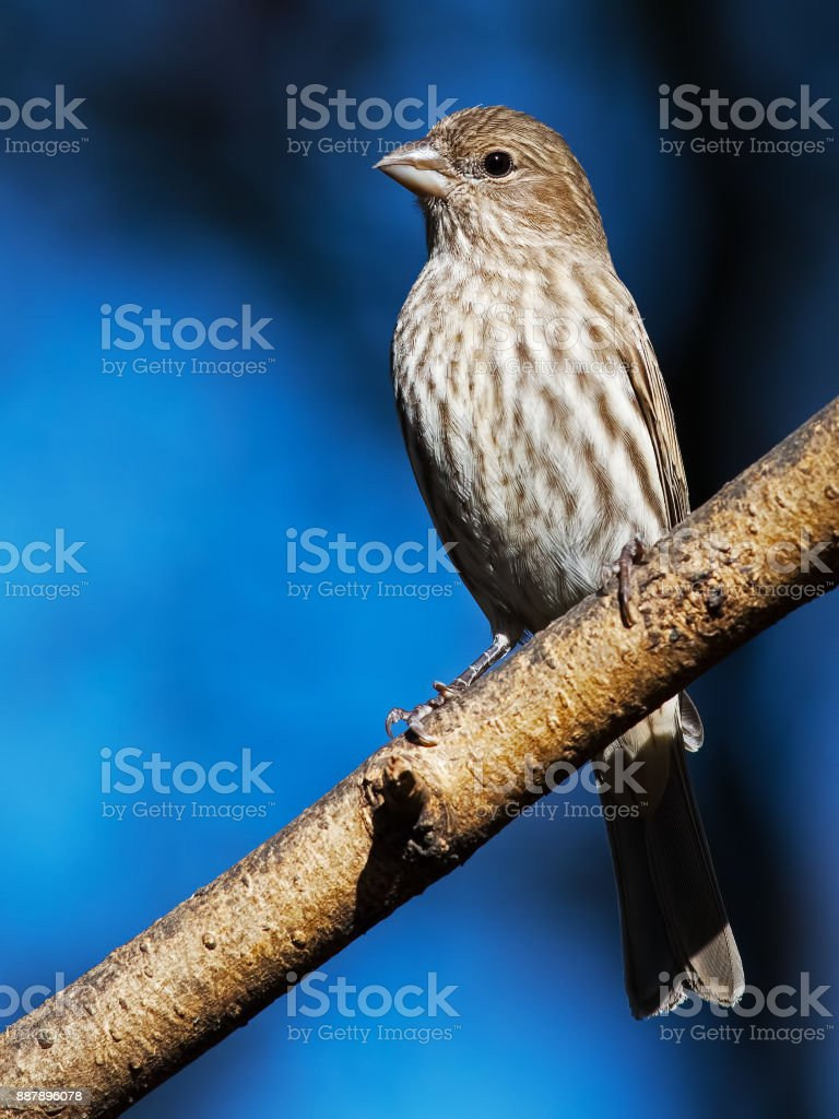 Female House Finch stock photo