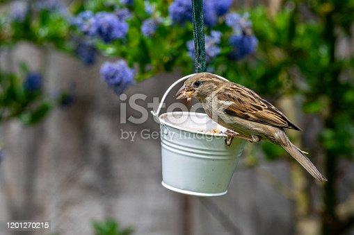 Female house sparrow bird (Passer domesticus) perched on suet garden feeder