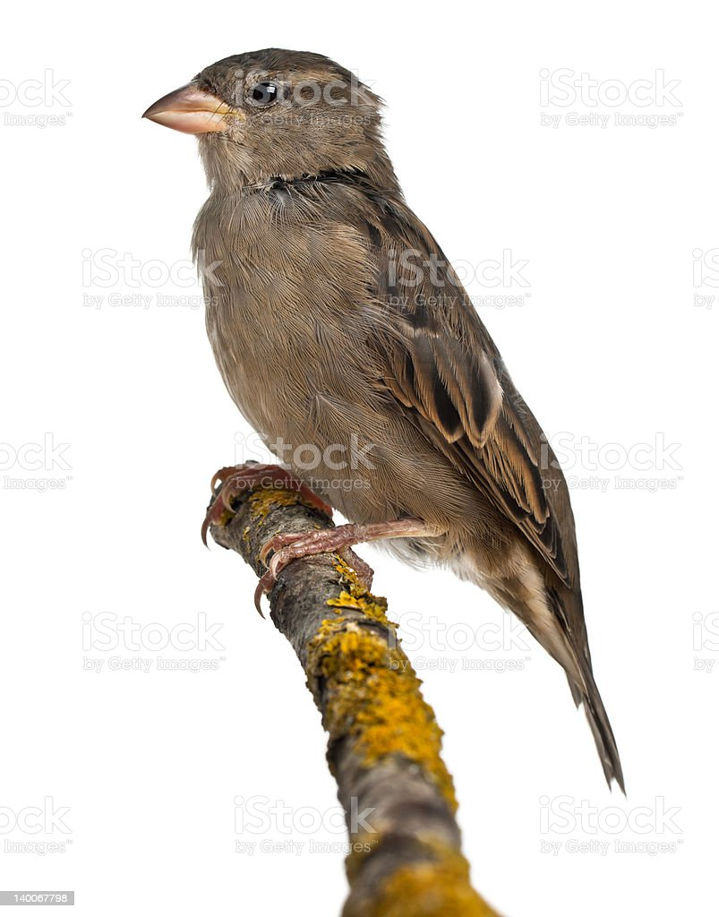 Female House Sparrow, Passer domesticus, 4 months old stock photo