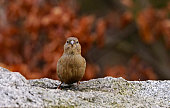 Humble and common House sparrow, a female bird, standing on stone surface in winter