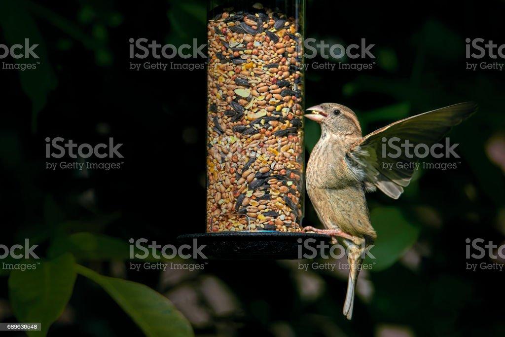 Ein weiblicher Haussperling (Passer Domesticus) mit einem Samen in den Mund zu fliegen aus einem Garten Samen feeder – Foto
