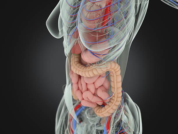 Female human anatomy, torso showing intestines. stock photo