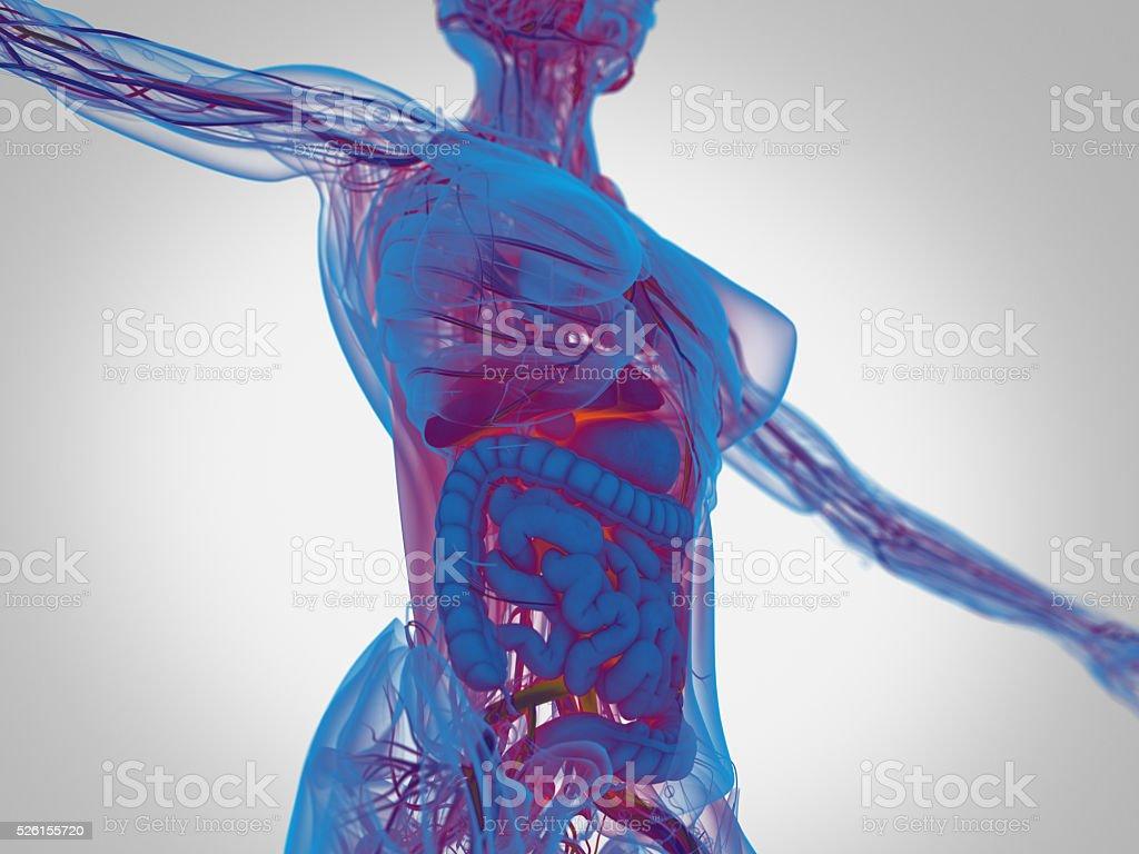 Hembra Anatomía Humana Torso Mostrando Los Intestinos - Fotografía ...