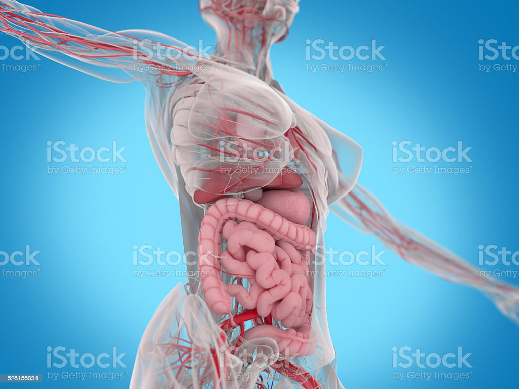 Female Human Anatomy Torso Showing Intestines Stock Photo More