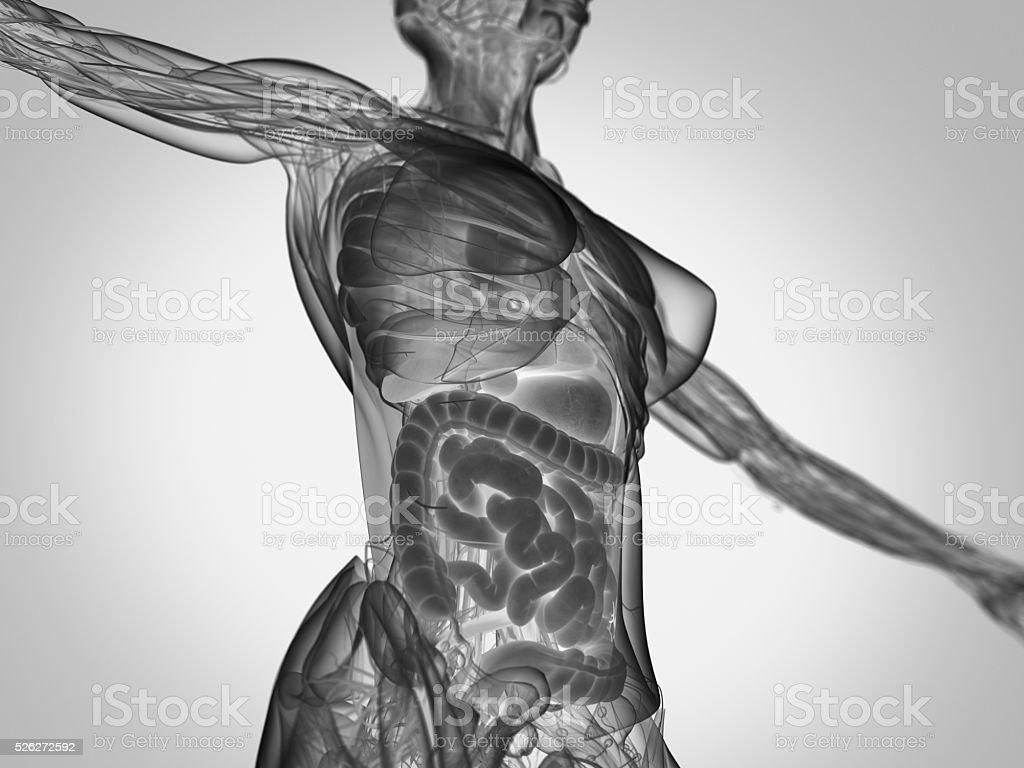 Weibliche Menschliche Anatomie Oberkörper Mit Intestines Stock ...
