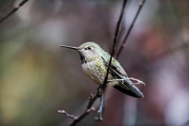 Female Hummingbird Resting stock photo