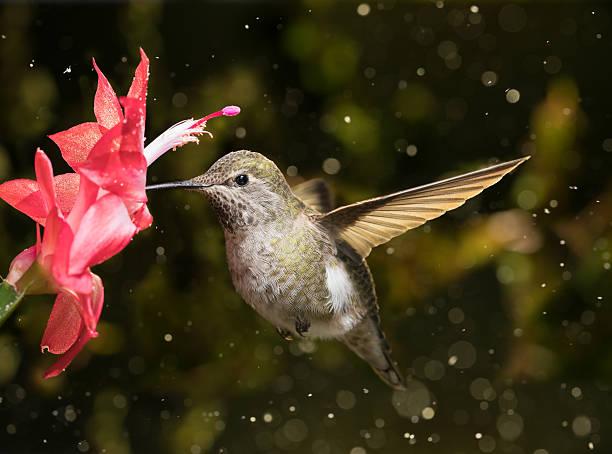 Female hummingbird visits flower in snow storm stock photo