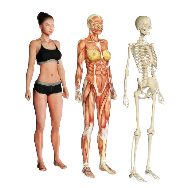 Royalty Free Female Anatomy Pictures Images And Stock Photos Istock