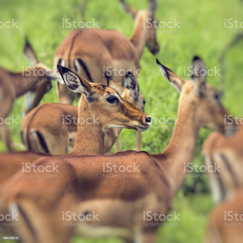 Female impala antelopes in Maasai Mara National Reserve, Kenya. stock photo
